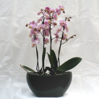 03 Double Orchid Display