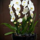08 Orchids in Ovation vase