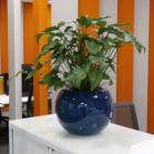 02 Blue Sphere plant pot with a Philodendron
