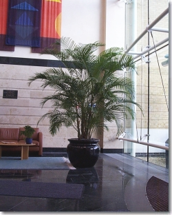 A large Areca palm.